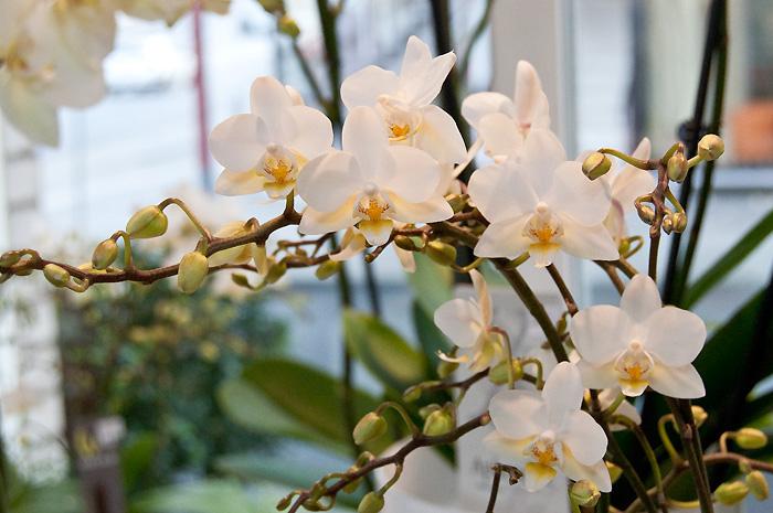 Immerschöne Orchidee